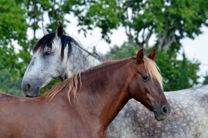 cheval-mediateur